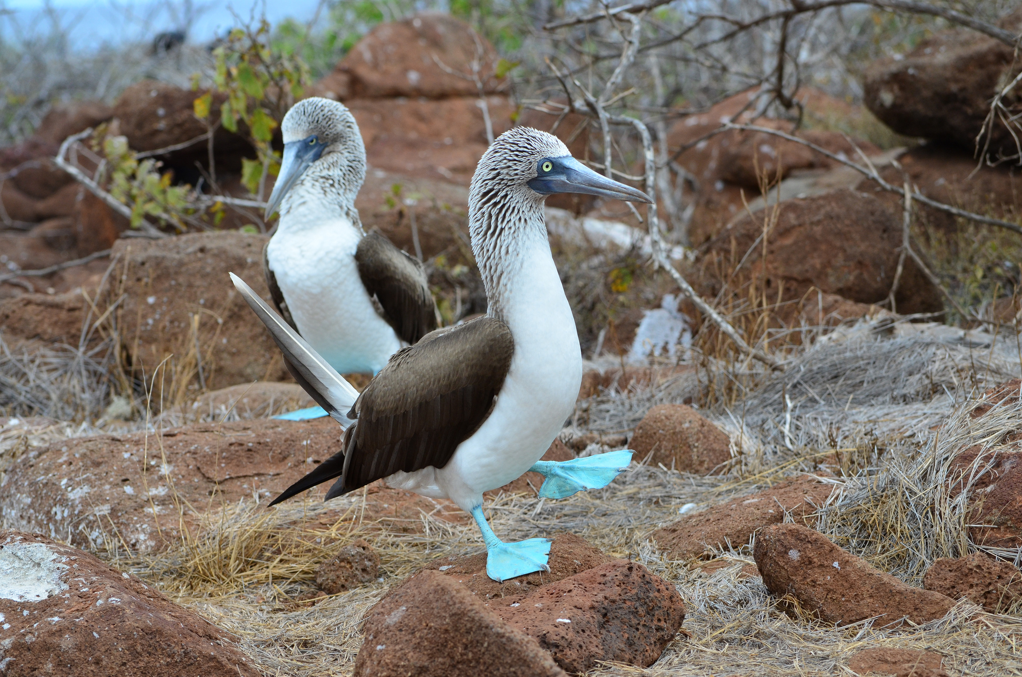 Sighting the blue footed boobie is one of the top reasons to visit the Galapagos Islands ... photo by CC user krawczuk on Flickr