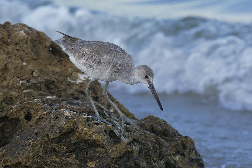 seabirds thrive on many of Florida's hidden beaches ... photo by CC user russ-w on Flickr